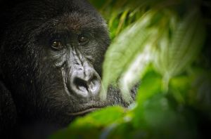 16-VNP-Mountain Gorilla.jpg